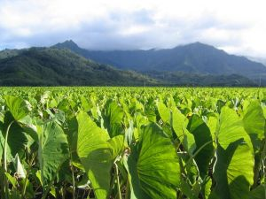 Celebrate the taro plant at the 22nd Annual East Maui Taro Festival in Hana this weekend.