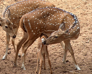 Axis deer, file photo courtesy The Nature Conservancy and DLNR.