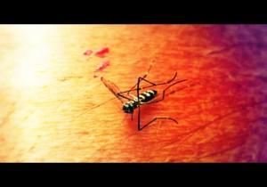 Mosquito. Maui Now courtesy photo.