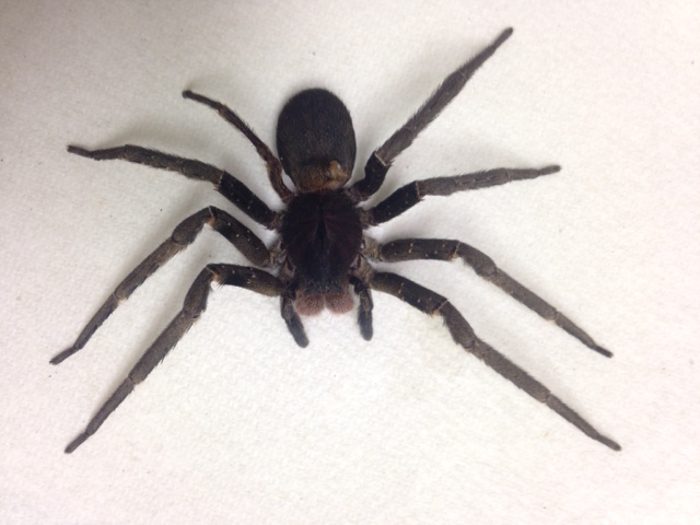 Brazilian Wandering Spider. Photo courtessy: Hawaiʻi Department of Agriculture.