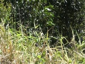 Invasive cane grass can trap moisture and provide harbor for mosquitoes and other insects. Photo by Kiaora Bohlool.