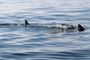 Shark sighting, Mokapu Beach, Saturday, Jan. 16, 2016. Photo credit: Robert Raimo