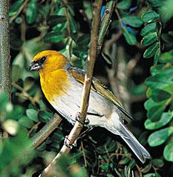 Photo of palila bird courtesy:  USGS