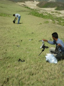Conservancy field staff collect the dead shearwaters strewn over grassy dunes of Mo`omomi Preserve on Moloka`i.  Photo credit: Nature Conservancy.
