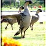 Endangered Nene Goose Talk, Part of Public Lands Day Celebration