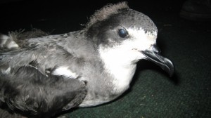 Photo Courtesy Haleakala National Park: This 'ua'u (Hawaiian petrel) was grounded at Kahului Harbor October 2008. It's leg was broken, probably from hitting the ground. The bird received medical treatment, was successfully rehabilitated and released.