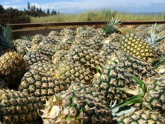 Field workers unloaded pallets of pineapple at the Haliimaile and Haiku fields today, hours after learing of the company's plans to end pineapple operations by the end of this year. Photo by Wendy Osher.