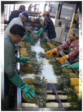 Maui Land and Pineapple Company operations before the closure of the Kahului cannery. File photo by Wendy Osher.