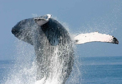 Photo Courtesy Pacific Whale Foundation.