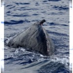 Two Abandoned Whale Calf Encounters Reported in Maui Waters