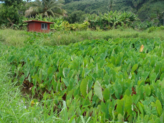 Ke'anae taro farm. File photo by Wendy Osher.