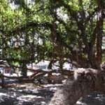 Banyan Tree - Lahaina, Maui. Photo courtesy Lahaina Town Action Committee.