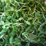 Sunflower Sprouts (file image)
