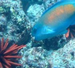 Urchin and parrotfish located within the Kahekili Herbivore Management Area on Maui, file photo courtesy Division of Aquatic Resources.