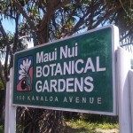 A series of Kalo workshops is planned at the Maui Nui Botanical Gardens.  Photo by Wendy Osher.