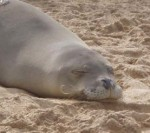 Latest Monk Seal Death Raises Reward to $40,000