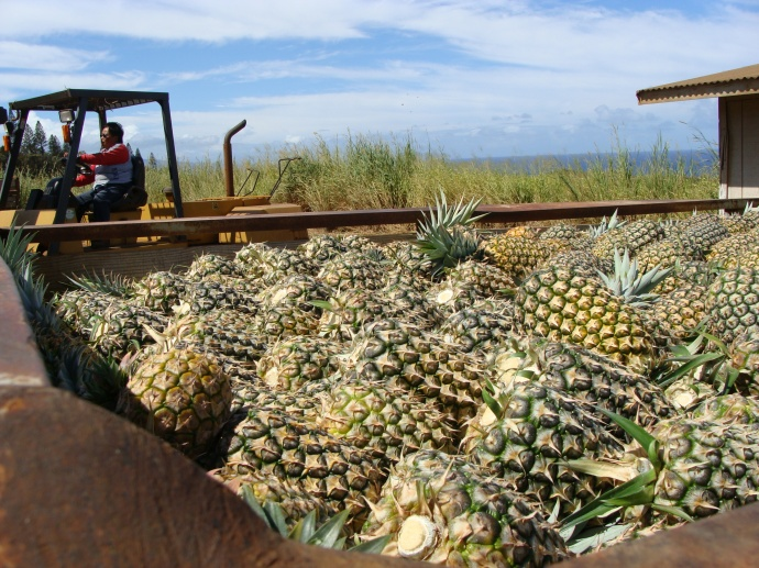 Pineapple growers are facing immense low-wage competition. File photo by Wendy Osher.