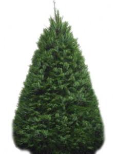 Kahului Rotary Club's annual christmas tree fundraiser features premium sheered douglas fir trees. Courtesy photo.