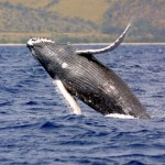 Humpback whale. Photo courtesy NOAA.