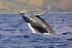 Humpback whale. Photo courtesy NOAA/HIHWNMS.