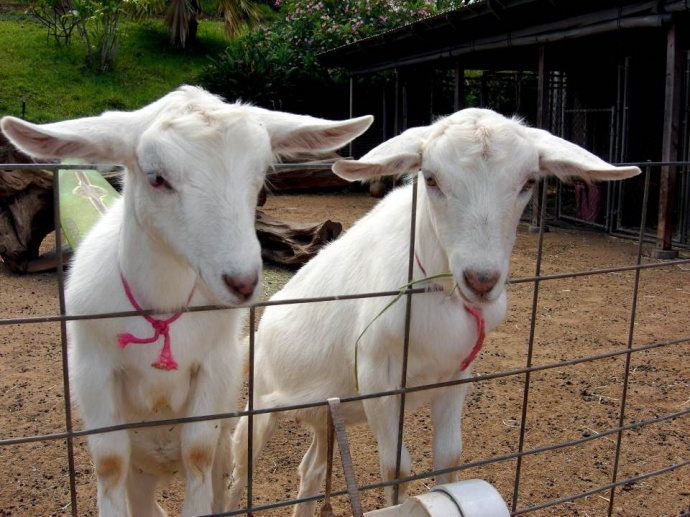 Maui's Surfing Goat Dairy Reopening Thanks to Successful Adopt a Goat Fundraiser