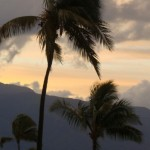 Maui palm trees. File photo by Wendy Osher.
