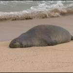 Hawaiian monk seal. Courtesy of Hawaii News Now.