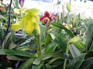 ladyslipper orchid now in vogue