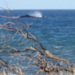 Whale activity in Maui waters, photo by Wendy Osher 2/4/12.