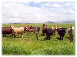 farming-cows-field-hawaii