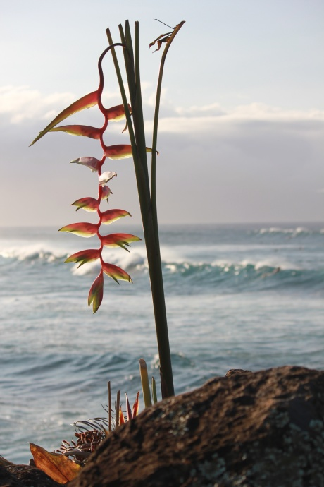 surf-heliconia-flower-waves