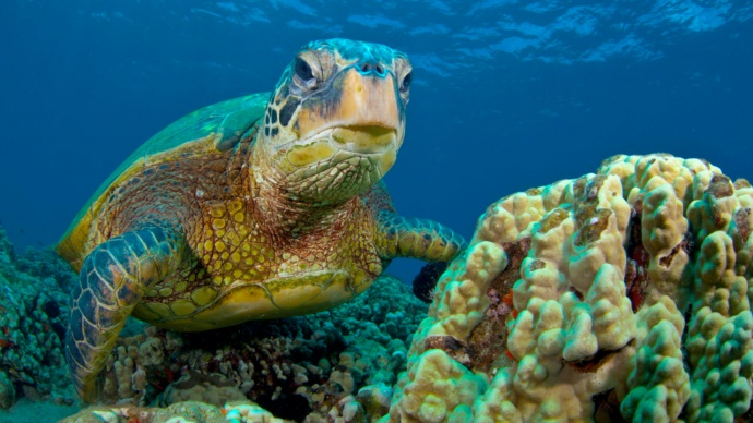 green-turtle-hawaiian-1