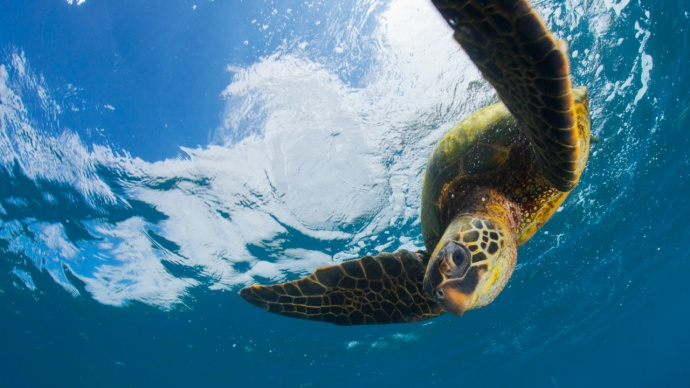 green-turtle-hawaiian