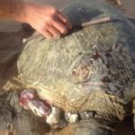 Shark Attacks Turtle, Forcing Repeat Closure of Kanaha