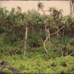 Pest Poses Threat to Culturally Significant Hala Trees