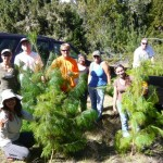 Maui Volunteers Clear 2,500 Non-Native Pines at Waikamoi