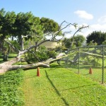Side view of fallen tree with damage to the park fence.  Photo courtesy County of Maui, Ryan Piros.