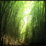 The Bamboo Forest. Photo by Vanessa Wolf
