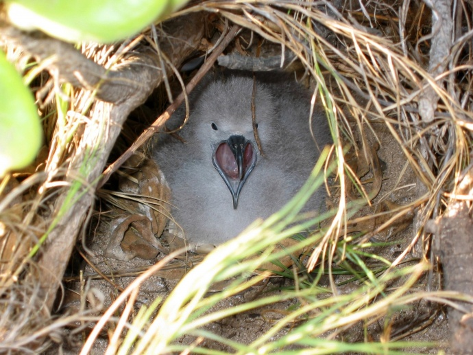 Fledgling wedge-tailed shearwater in burrowed nest.  Photo © Nature Conservancy