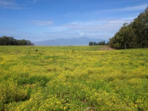 Fireweed, photo courtesy Hawaii Department of Agriculture.