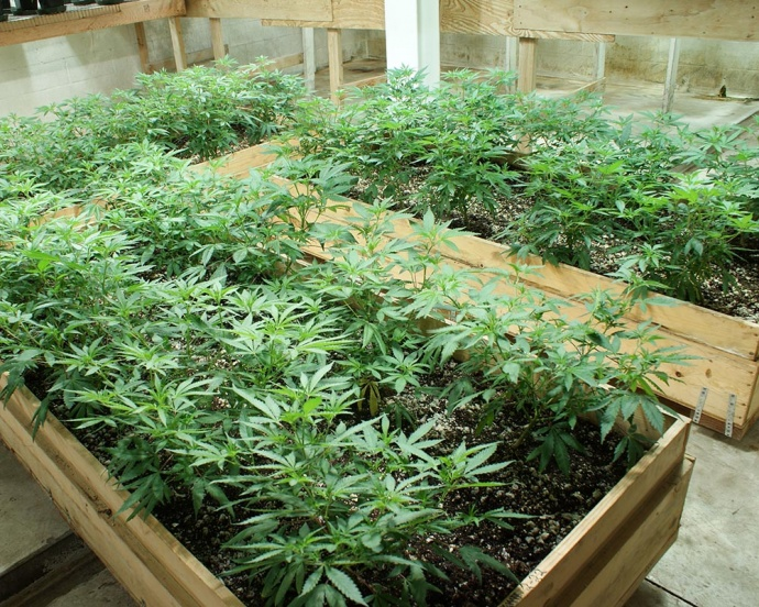 Hawai'i Island police dismantled an underground bunker marijuana-growing operation in Puna and arrested two individuals at the Glenwood home after serving a search warrant on Thursday. Police described the building as a sophisticated operation measuring 40 by 80 feet, and containing more than 500 marijuana plants. Photo courtesy Hawaii Police Department.
