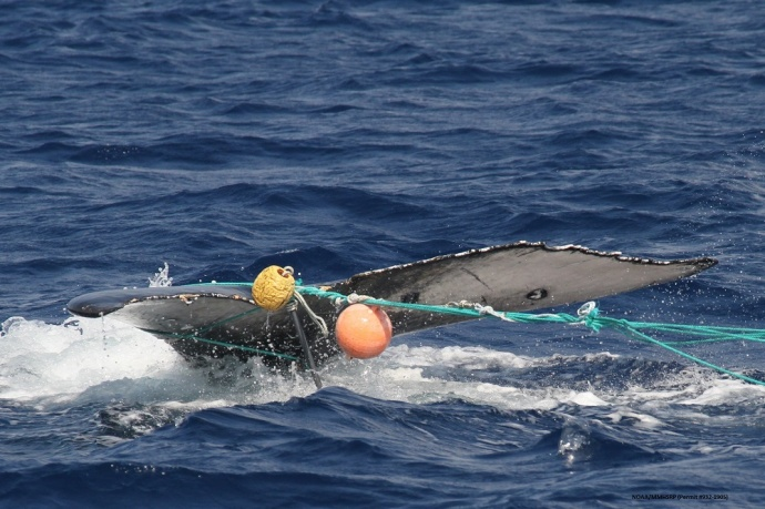 Whale entanglement.  Photo courtesy: Hawaiian Islands Humpback Whale National Marine Sanctuary.