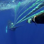 Whale entanglement.  Photo courtesy: Hawaiian Islands Humpback Whale National Marine Sanctuary.