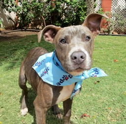 """Buckley, the Dog of the Week at the Maui Humane Society. He's also known as """"#27,"""" which makes me sad, but I already have a dog: arguably one dog too many. Courtesy photo."""