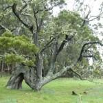 Maui Resort Supports Native Koa Reforestation