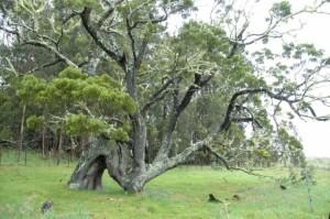 Native koa tree. Courtesy photo.