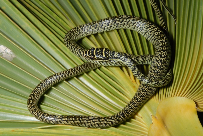 Tree snake, Photo courtesy Department of Agriculture.