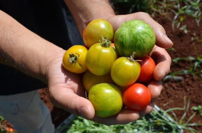 Locally grown tomatoes. Courtesy photo