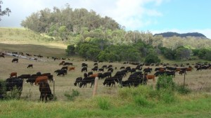 Ranching on Maui, file photo by Wendy Osher.