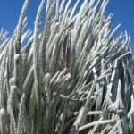 Haleakalā silversword. Photo by Wendy Osher.